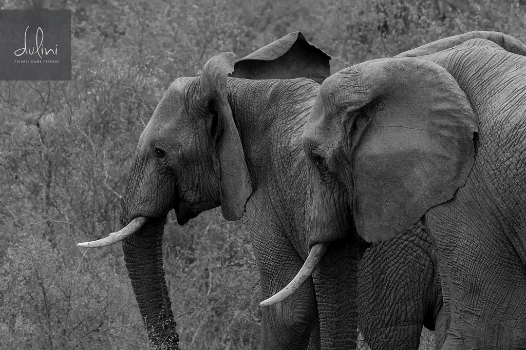 Elephants_BW